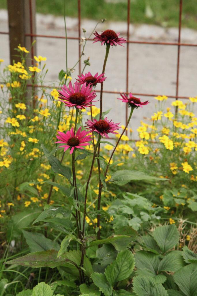 Solhatt och kryddtagetes Berusande trädgård Spritmuseum